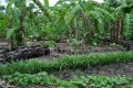IMG: Milpa and Mayan forest gardens